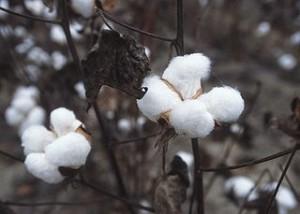 Cotton plant commodity