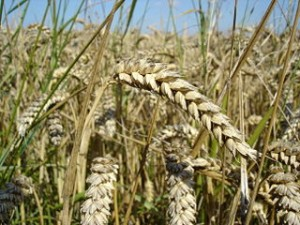 Wheat commodity
